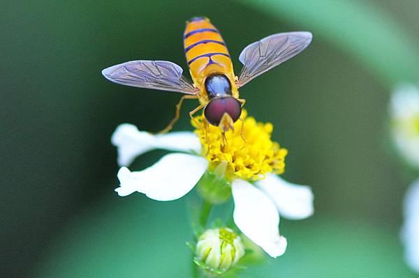 食蚜蠅 (8)