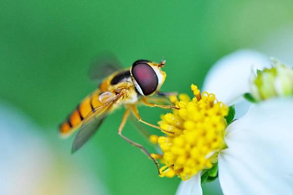 食蚜蠅 (18)