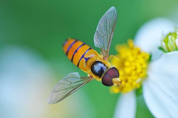 食蚜蠅 (19)