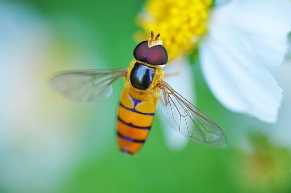 食蚜蠅 (20)