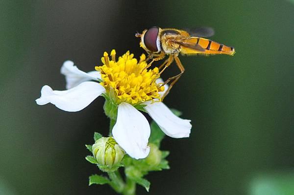 食蚜蠅 (6)