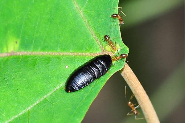 野桐蜜點上硬螊與長腳捷蟻.jpg