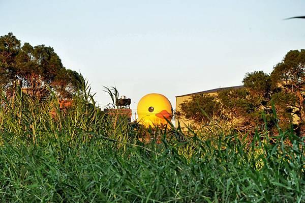 黃色小鴨 (53).jpg