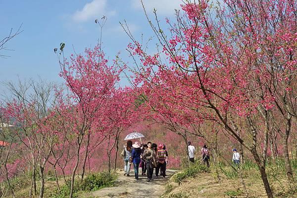 楊梅觀光茶園裡的櫻花 (5).jpg