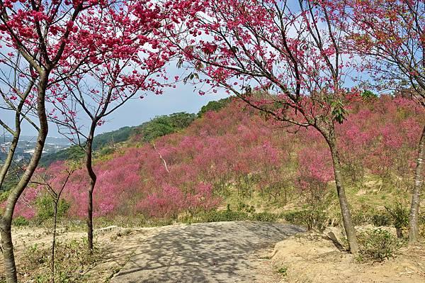 楊梅觀光茶園裡的櫻花 (6).jpg