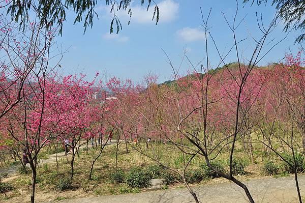 楊梅觀光茶園裡的櫻花 (9).jpg
