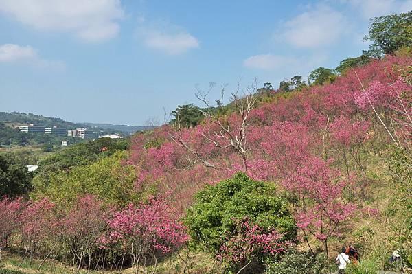 楊梅觀光茶園裡的櫻花 (11).jpg