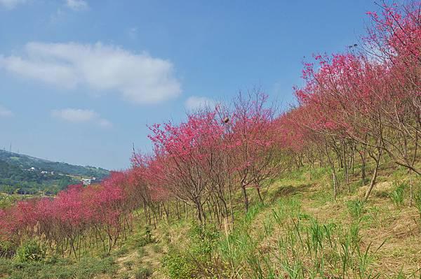 楊梅觀光茶園裡的櫻花 (12).jpg