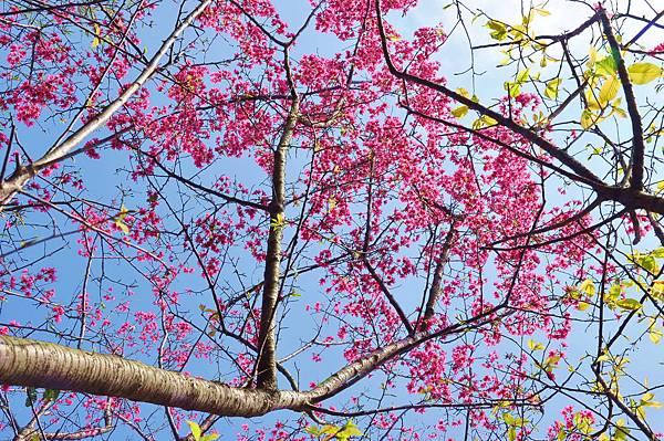 楊梅觀光茶園裡的櫻花 (15).jpg