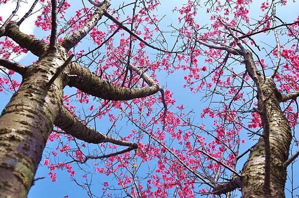 楊梅觀光茶園裡的櫻花 (16).jpg