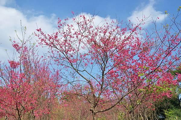 楊梅觀光茶園裡的櫻花 (17).jpg