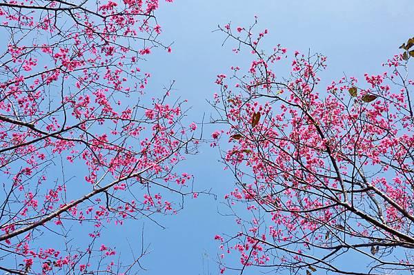 楊梅觀光茶園裡的櫻花 (18).jpg