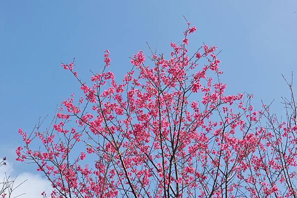 楊梅觀光茶園裡的櫻花 (19).jpg