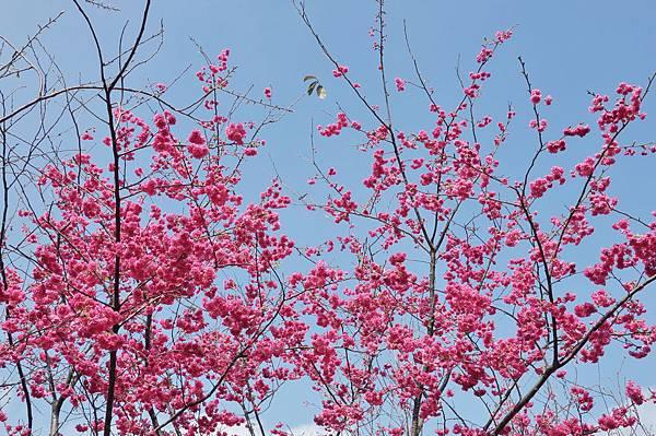楊梅觀光茶園裡的櫻花 (22).jpg