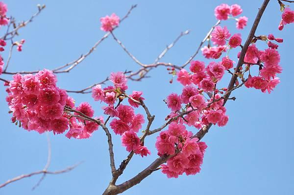 楊梅觀光茶園裡的櫻花 (25).jpg