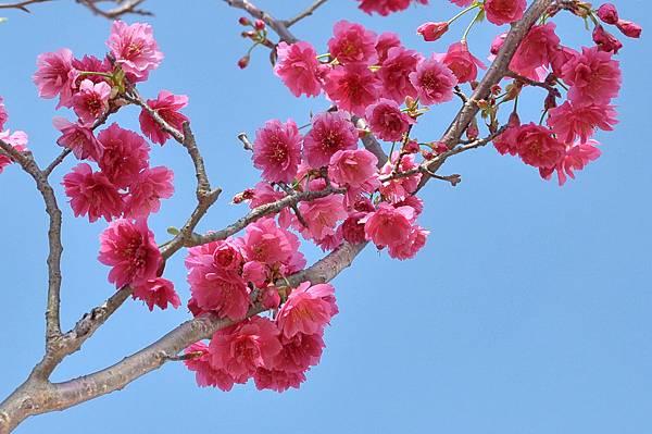 楊梅觀光茶園裡的櫻花 (26).jpg