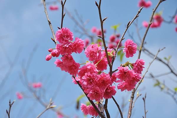 楊梅觀光茶園裡的櫻花 (28).jpg