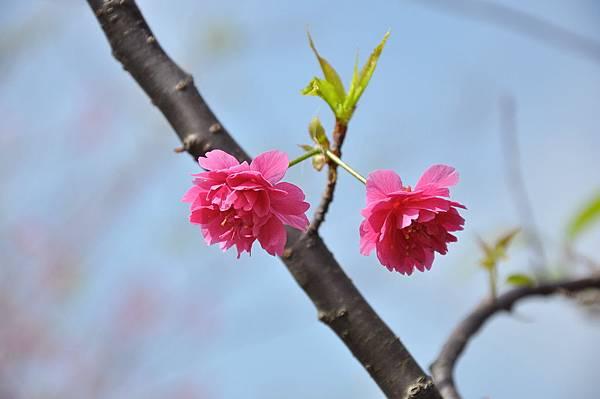 楊梅觀光茶園裡的櫻花 (30).jpg