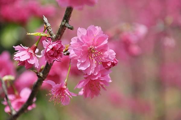 楊梅觀光茶園裡的櫻花 (32).jpg