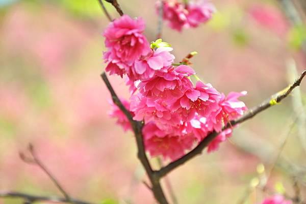 楊梅觀光茶園裡的櫻花 (33).jpg