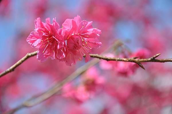 楊梅觀光茶園裡的櫻花 (34).JPG
