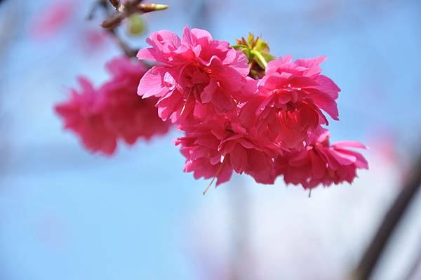 楊梅觀光茶園裡的櫻花 (35).jpg