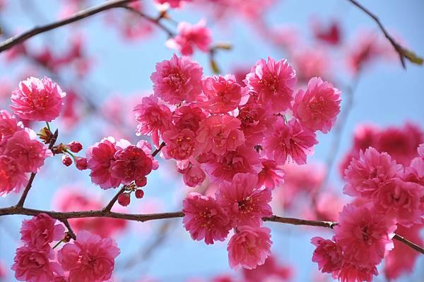 楊梅觀光茶園裡的櫻花 (38).jpg