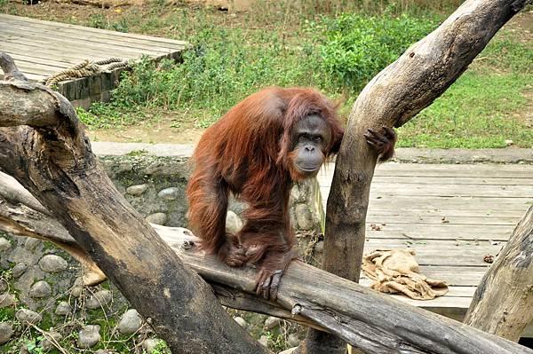 新竹動物園 (98)紅毛猩猩.jpg
