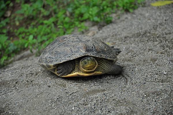新竹動物園 (20)斑龜.JPG