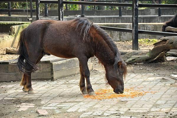 新竹動物園 (25)矮種馬.jpg