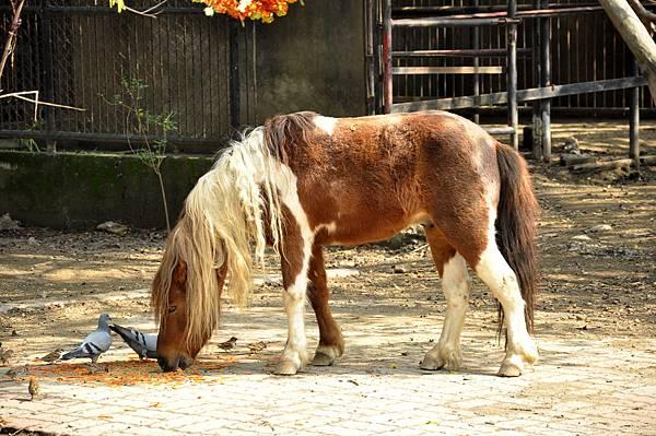 新竹動物園 (26)矮種馬.jpg