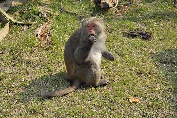 新竹動物園 (30)台灣獼猴.JPG