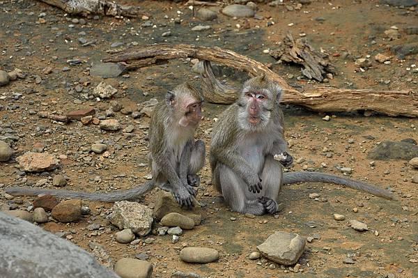 新竹動物園 (34)馬來猴.jpg