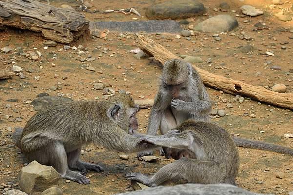 新竹動物園 (36)馬來猴.jpg