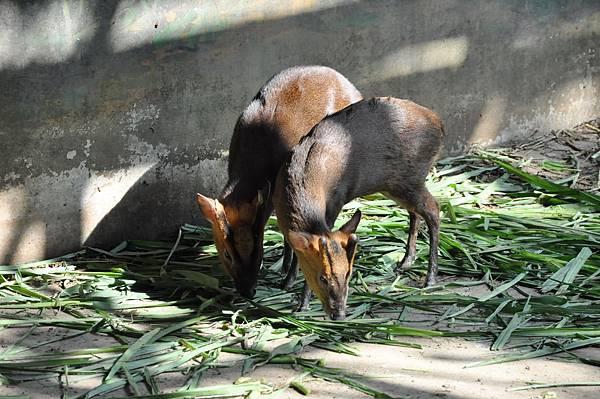 新竹動物園 (37)山羌.jpg