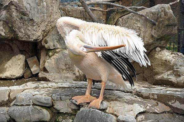新竹動物園 (60)白鵜鶘.jpg