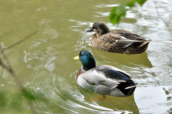 新竹動物園 (61)綠頭鴨.jpg