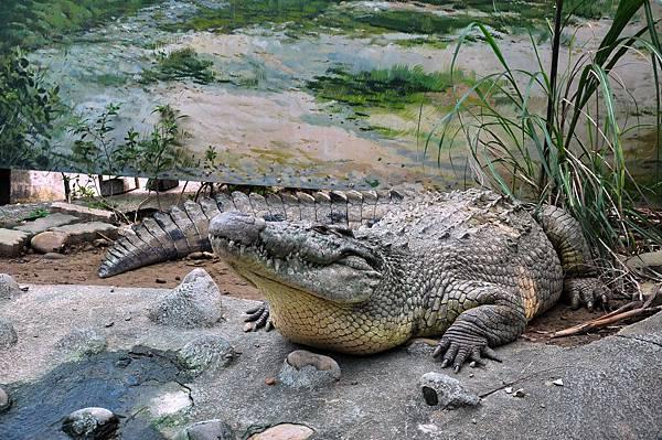 新竹動物園 (73)尼羅鱷.jpg