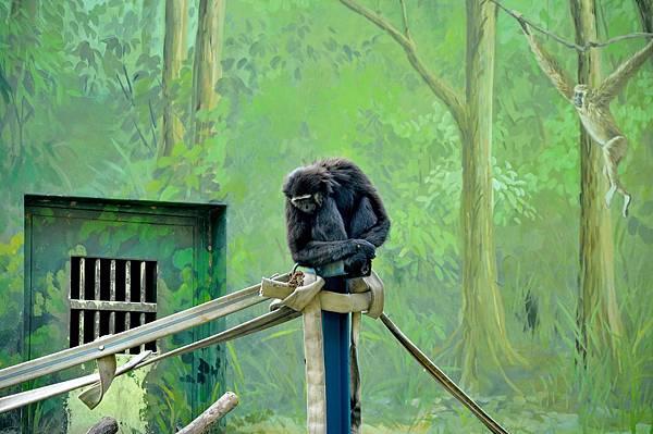 新竹動物園 (78)長臂猿.jpg