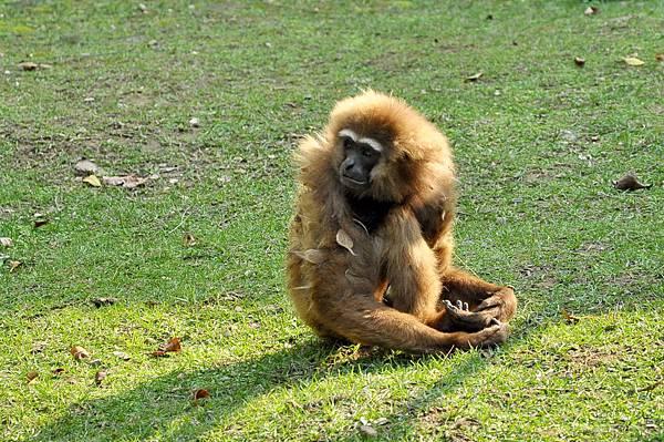 新竹動物園 (79)長臂猿.jpg