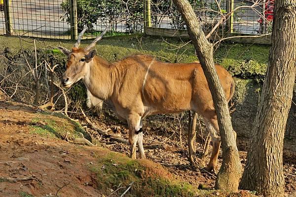 新竹動物園 (81)伊蘭羚羊.jpg