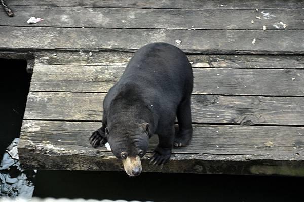 新竹動物園 (85)馬來熊.jpg