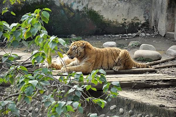 新竹動物園 (91)孟加拉虎.jpg