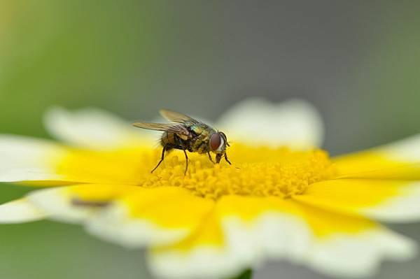 食蚜蠅 (55).jpg