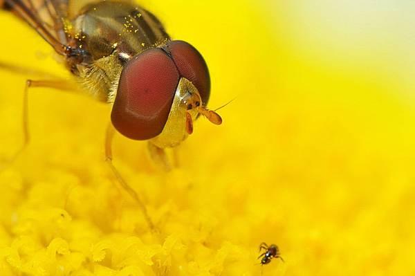 食蚜蠅 (1).jpg