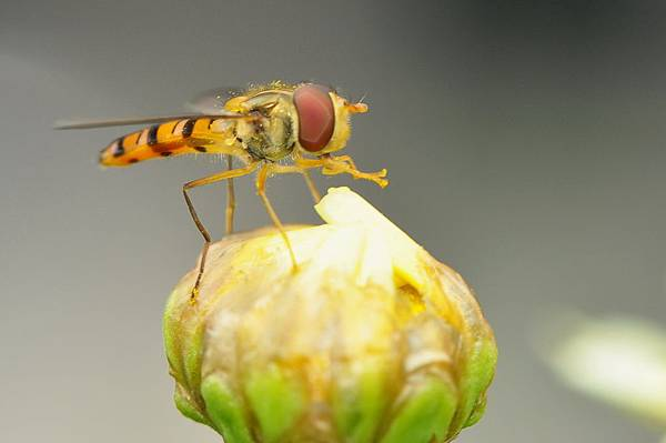 食蚜蠅 (6).jpg