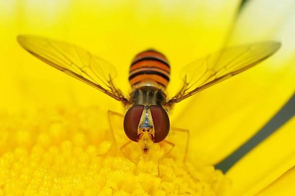 食蚜蠅 (10).jpg