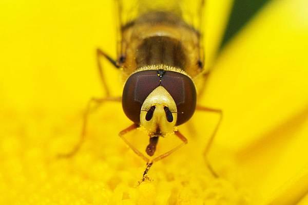 食蚜蠅 (13).jpg