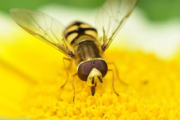 食蚜蠅 (15).jpg