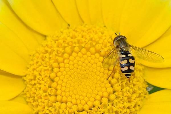 食蚜蠅 (24).jpg
